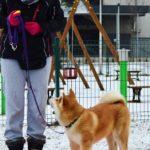 szkolenie akita