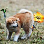 psie przedszkole akita