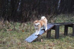 akita psie przedszkole